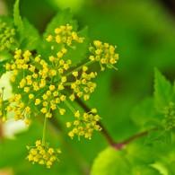 Smoky Mountains Wildflowers: Meadow Parsnip