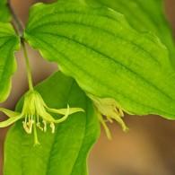 Smoky Mountains Wildflowers: Yellow Mandarin