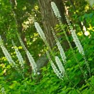 Smoky Mountains Wildflowers: Black Cohosh