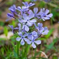 Smoky Mountains Wildflowers: Blue Phlox