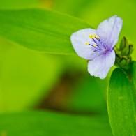 Smoky Mountains Wildflowers: Spiderwort