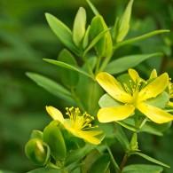 Smoky Mountains Wildflowers: St. Andrews Cross