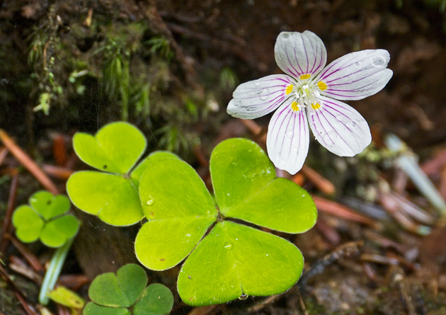 Smoky Mountains Wildflowers: Wood Sorrel