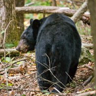 Tracking a Bear is Not Easy