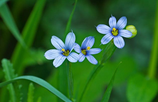 Smoky Mountains Wildflowers: Blue-eyed Grass