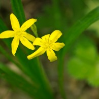Smoky Mountains Wildflowers: Star Grass
