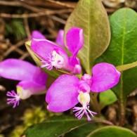 Smoky Mountains Wildflowers: Gay Wings