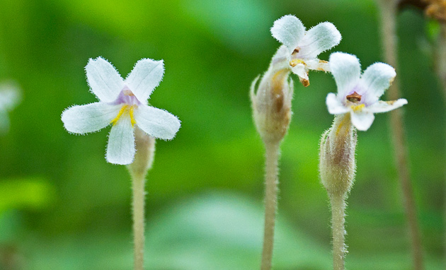 Smoky Mountains Wildflowers: One-flowered Cancer Root