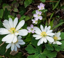 Bloodroot with Spring Beauty
